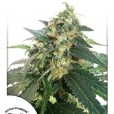 SnowStorm 2 (Dutch Passion) feminized