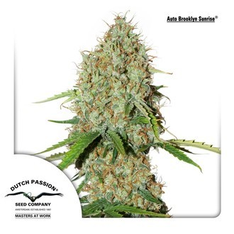 AutoBrooklyn Sunrise (Dutch Passion) feminized