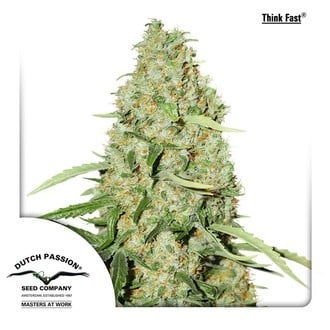 Think Fast (Dutch Passion) feminized
