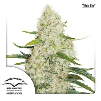 Think Big (Dutch Passion) feminized