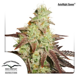 AutoNight Queen (Dutch Passion) feminized