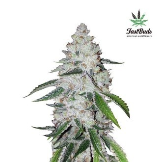 West Coast O.G. Auto (FastBuds) feminized