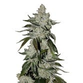 Girl Scout Cookies Auto (FastBuds) feminized
