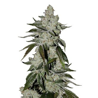 Girl Scout Cookies Auto (FastBuds) feminisiert