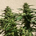 Missile 33 SuperAuto (Flash Auto Seeds) Femminizzata