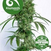 Ocean's Twelve Haze by Dampkring Classics (Kiwi Seeds) feminized