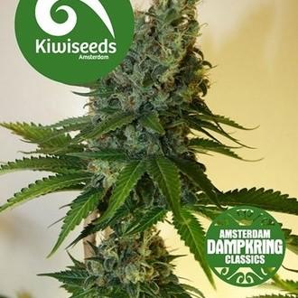 Congo Haze (Kiwi Seeds) Femminizzata