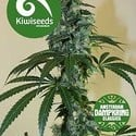 G13 x Amnesia Haze (Kiwi Seeds) feminisiert