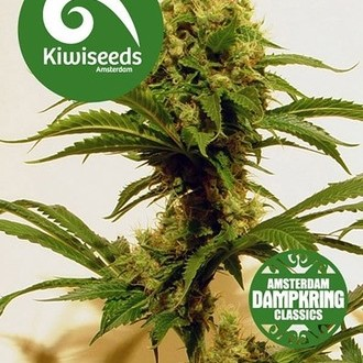 Cheese x Haze (Kiwi Seeds) feminisiert