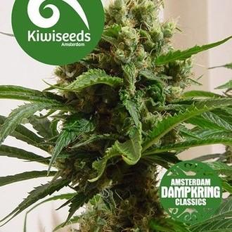 Cloud 9 (Kiwi Seeds) Femminizzata