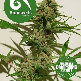 Mexican Haze (Kiwi Seeds) feminized