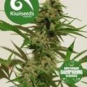 Mexican Haze (Kiwi Seeds) Femminizzata