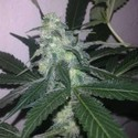 Swiss Cheese Autoflower (Nirvana) feminized