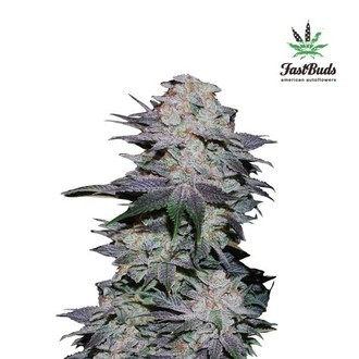 Blackberry Auto (FastBuds) feminized