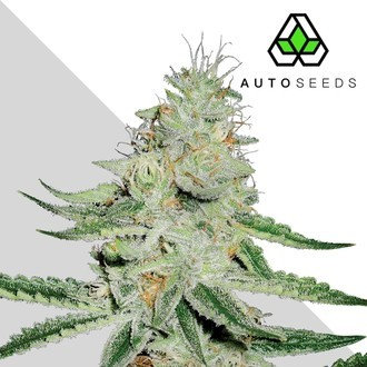 Dreamberry (Auto Seeds) feminisiert