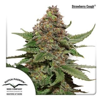 Strawberry Cough (Dutch Passion) feminisiert