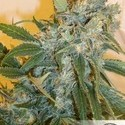 Strawberry Cough (Dutch Passion) feminized