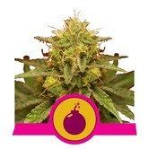 Royal Domina (Royal Queen Seeds) feminized