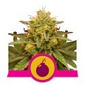 Royal Domina (Royal Queen Seeds) feminisiert