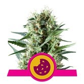 Royal Cookies (Royal Queen Seeds) feminized