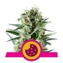 Royal Cookies (Royal Queen Seeds) Femminizzata