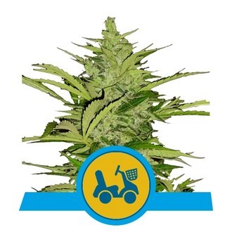 Fast Eddy Automatic (Royal Queen Seeds) feminisiert