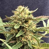 CBD Therapy (CBD Crew) feminized