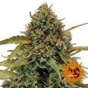 Bad Azz Kush (Barney's Farm) feminized