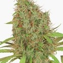 Dutch Haze (Dutch Passion) feminized