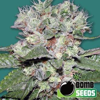 CBD Bomb (Bomb Seeds) feminisiert
