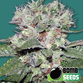 CBD Bomb (Bomb Seeds) feminized