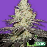 Killer Purps (Bomb Seeds) feminized