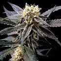 Strawberry Banana (Reserva Privada) feminisiert