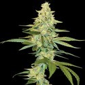 Cannalope Kush (DNA Genetics) feminized