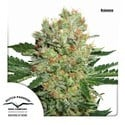 Brainstorm (Dutch Passion) feminized