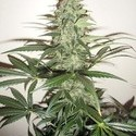 Super Auto Lemon Haze (Makka Seeds) feminized