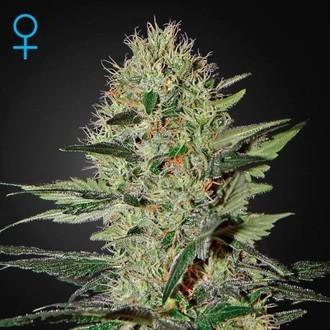 Exodus Cheese Autofiorente (Greenhouse Seeds) Femminizzata