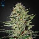 Exodus Cheese Autoflowering (Greenhouse Seeds) feminized