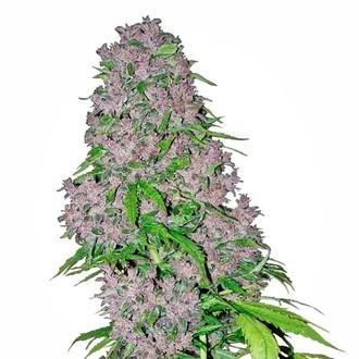 Purple Bud (White Label) feminisiert