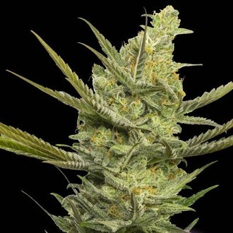 Gipsy Haze (Eva Seeds) feminized