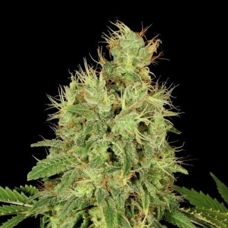CBD-Chronic (Serious Seeds) feminisiert
