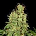 CBD-Chronic (Serious Seeds) feminisiert
