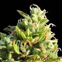 Auto OG Kush (Original Sensible Seeds) feminized
