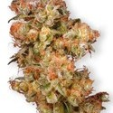Snow Bud (Dutch Passion) feminized