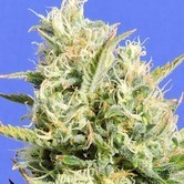 CBD Lemon Aid (Original Sensible Seeds) feminisiert