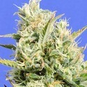 CBD Lemon Aid (Original Sensible Seeds) Femminizzata