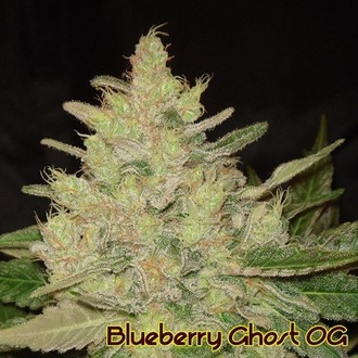 Blueberry Ghost OG (Original Sensible Seeds) feminisiert