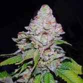 White Berry (VIP Seeds) feminisiert