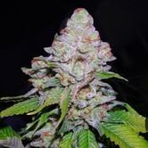 White Berry (VIP Seeds) Femminizzata