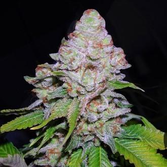 White Berry (VIP Seeds) feminisiert